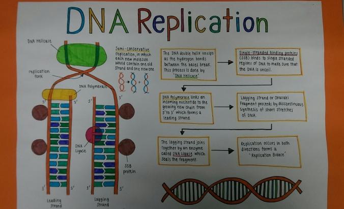 DNA repl