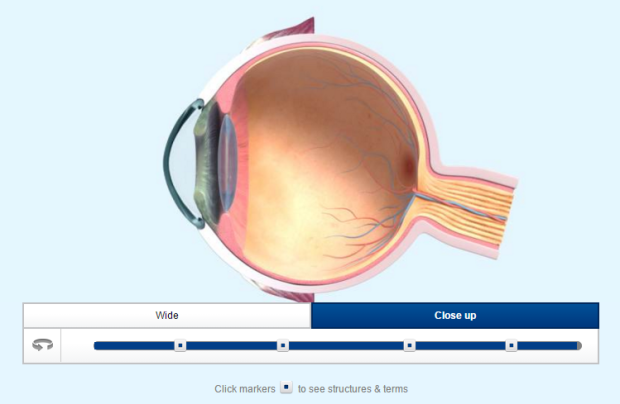 Interactive models of the human eye if its green or moves visiondirect also offer an interactive model with more simple explanations more suited for key stage 3 learners there is also a worksheet to accompany it ccuart
